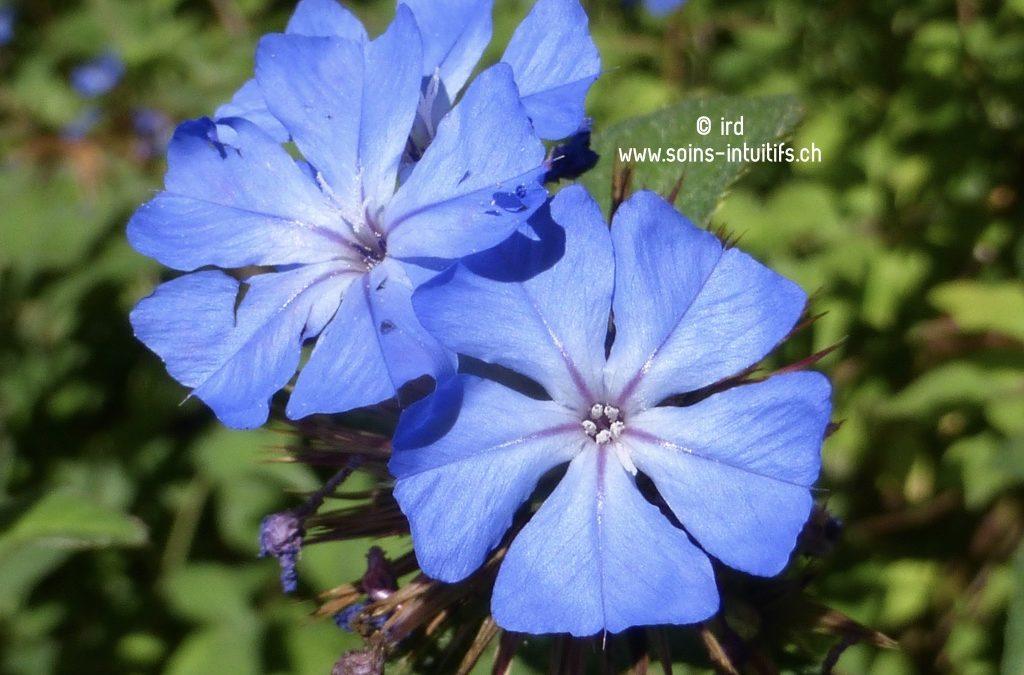 Élixir floral : Cerato – Plumbago
