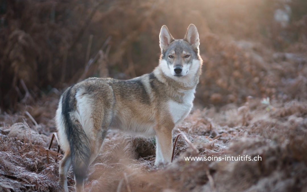 Fable : les deux loups