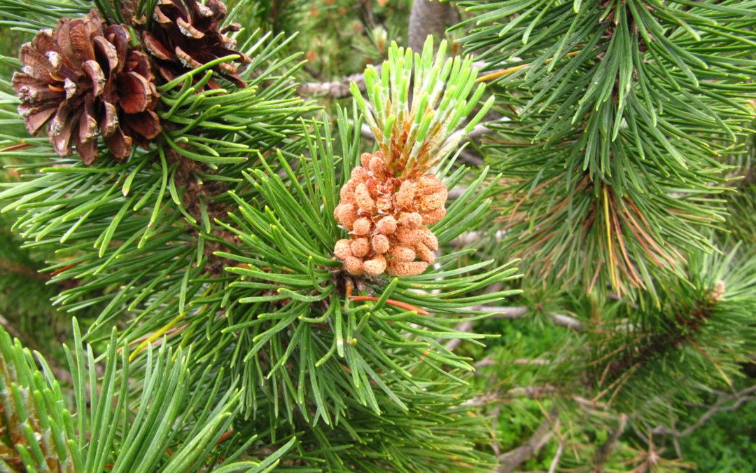 Elixir floral pin sylvestre